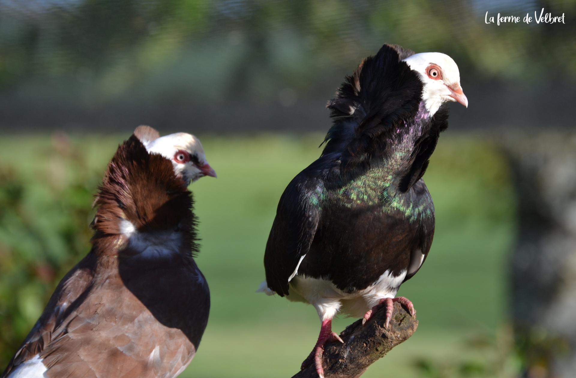 Pigeon capucin 3 ferme de velbret
