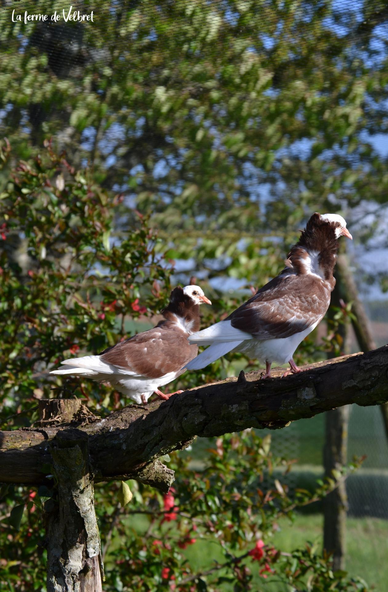 Pigeon capucin ferme de velbret